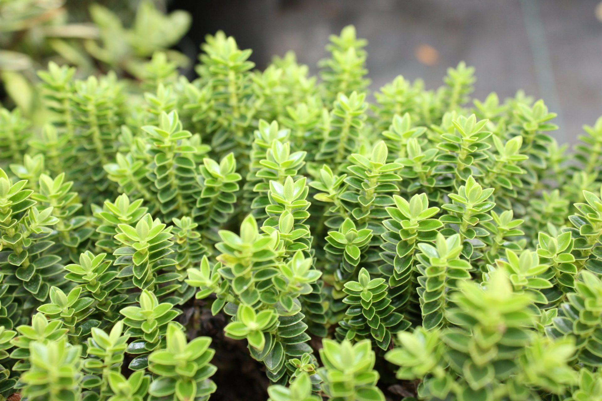 Hebe Buxifolia Nana - McLarens Nurseries