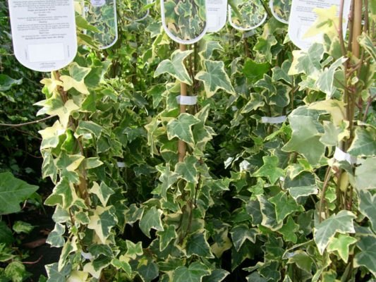 Hedera Helix Gold Child