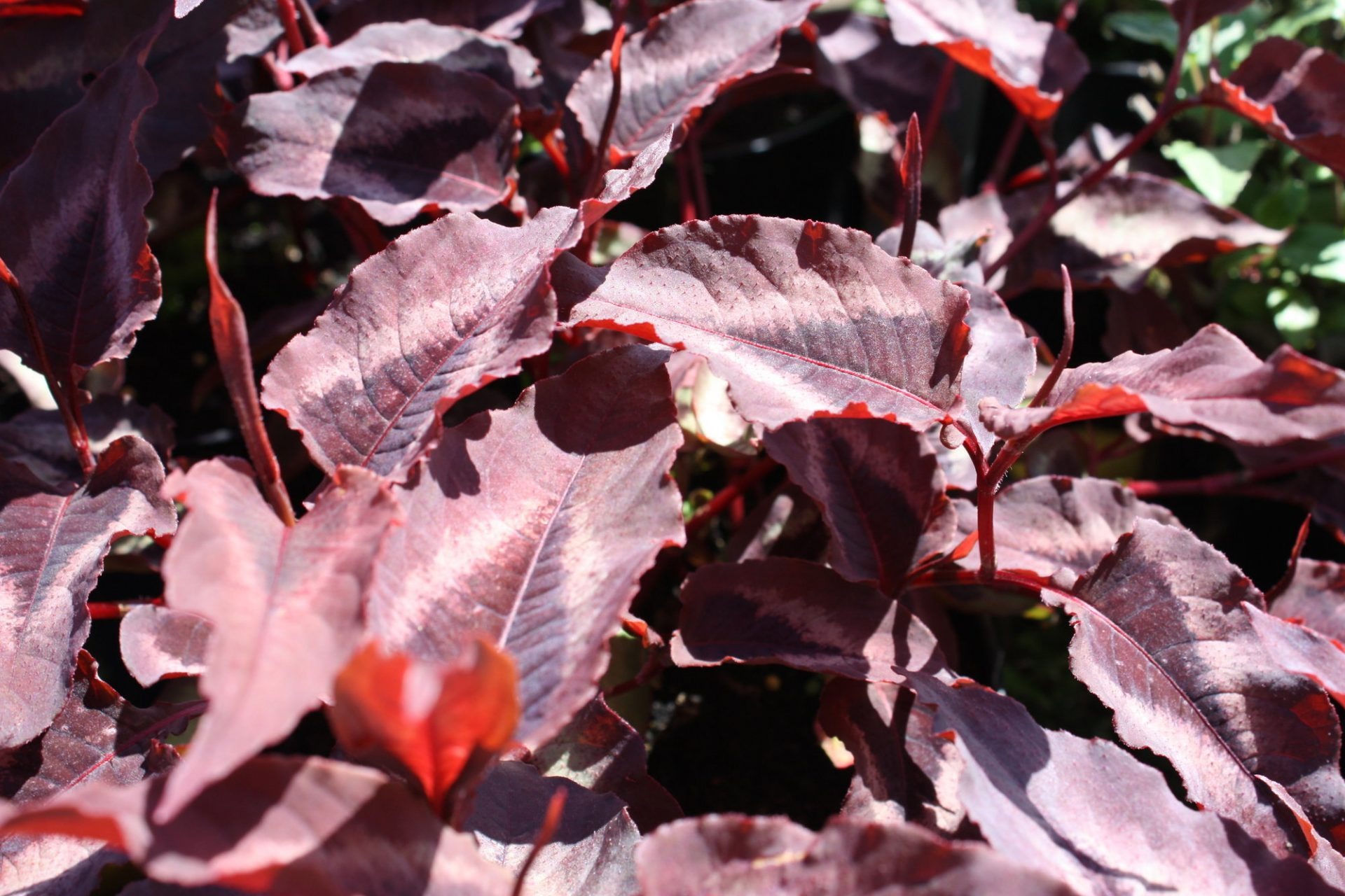 Picture of Live Knotweed aka Persicaria micro. 'Red Dragon' PP#12062 Plant Fit 1 Gallon Pot
