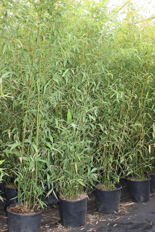 Phyllostachys Aurea - McLarens Nurseries